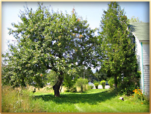 Munro Garden - Apple Tree