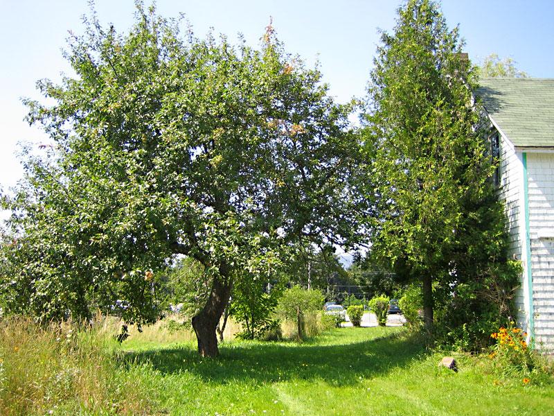 Munro House   Apple Tree